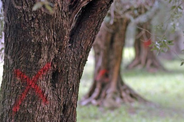 No cure for olive tree killer spreading in Europe — Italianmedia